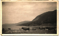 Highland cattle walking on a beach on the banks of Loch Broom (Ross and Cromarty, Scotland), circa 1930-1945